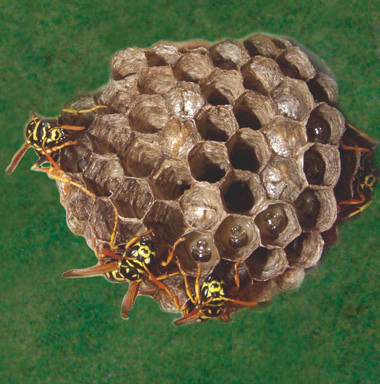 Paper wasps defending their nest